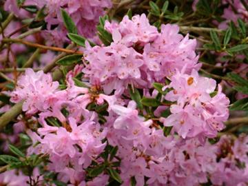 Rhododendron 'April Chimes'